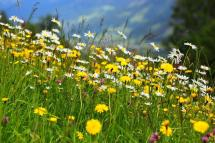 flower meadow at the Hochkönig